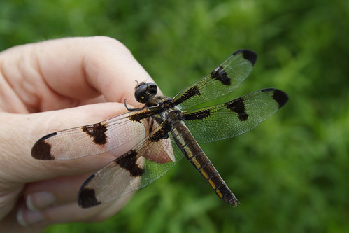Twelve-spotted Skimmer Female