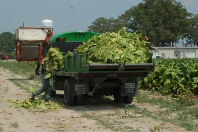 A worker picks up tobacco leaves and puts them on a truck that will take them to a barn, in Kinston, NC.