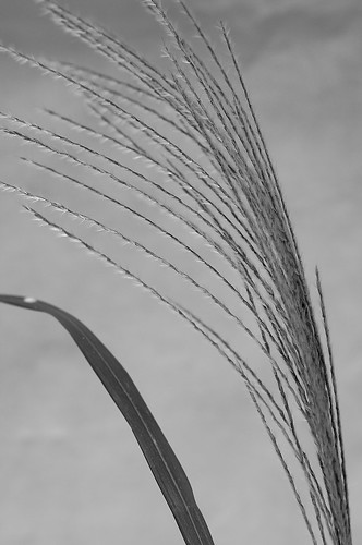 Ornamental Grass - 1