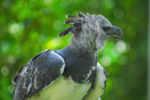 HarpyEagle2.jpg