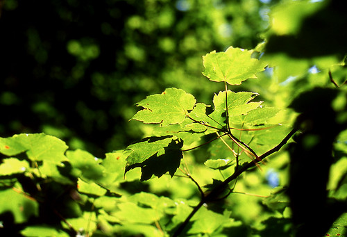 Maple Leaves. (Kodak Ektachrome E100VS. Nikon F100. Epson V500.)