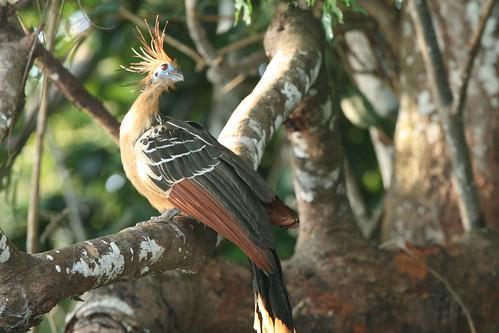 Opisthocomus hoazin (Hoatzin)