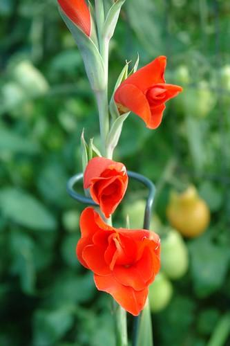 Red Gladiolius
