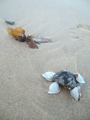 shellcrab