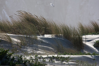 Wind blown sand dunes and grass, during gale f...