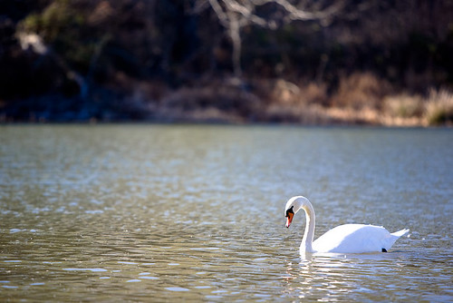 Swim Swan