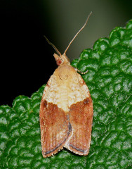 Rose tortrix moth?