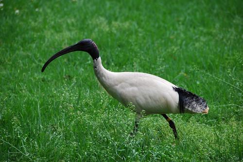Uno de los pájaros extraños vistos en los Botanic Gardens
