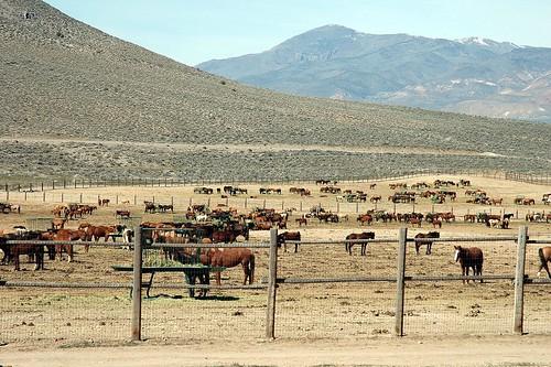 BLM Cows