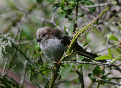 Long-tailed Tit - juvenile