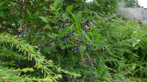 wild blueberries in Harriman State Park, NY
