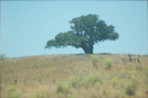 Lone Tree near Santa Maria by you.