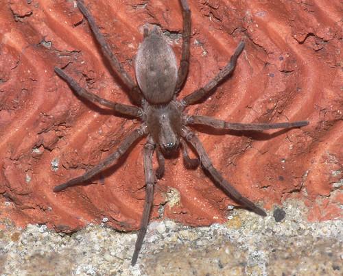 Velvety spider