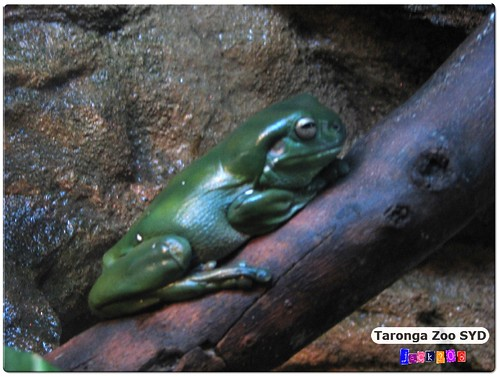 Taronga Zoo - Green Tree Frog
