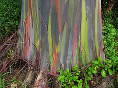 Rainbow Eucalyptus Tree -1.  Detail of trunk.
