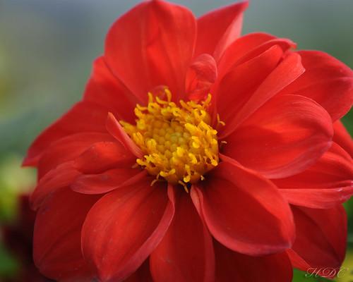 Dahlia hortensis