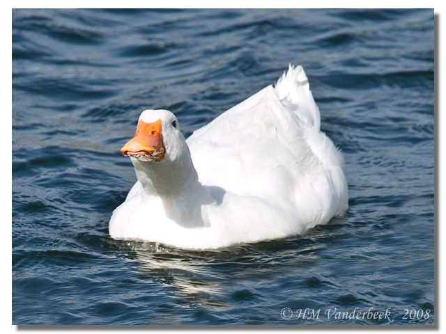 Duck with A BIG Tude
