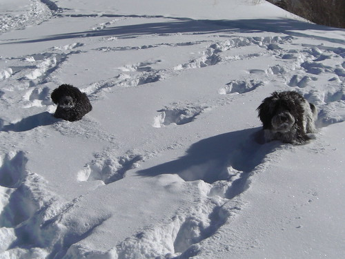 Puppies in Powder