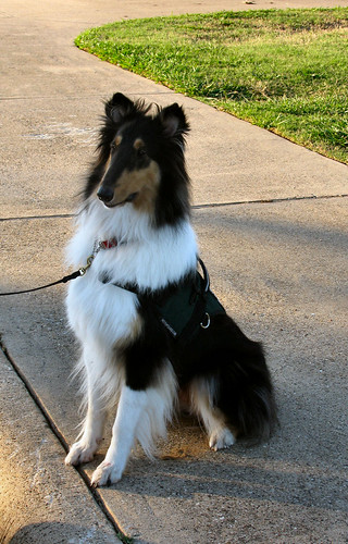 A tricolor rough collie (Kaylee) wearing a green service dog vest and sitting on a sidewalk