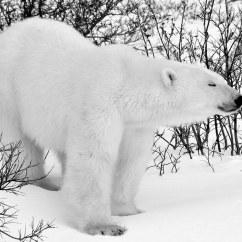 Brown Bear Diagram Autometer Pro Comp Tach Wiring Polar Fur