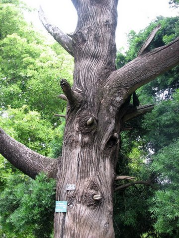 Callistris cuprasoid tree lalbagh 220308