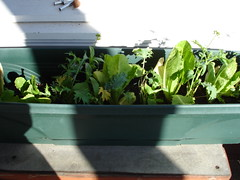 Mesclun and Romaine lettuce