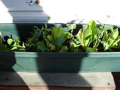 Mesclun and Romaine lettuce