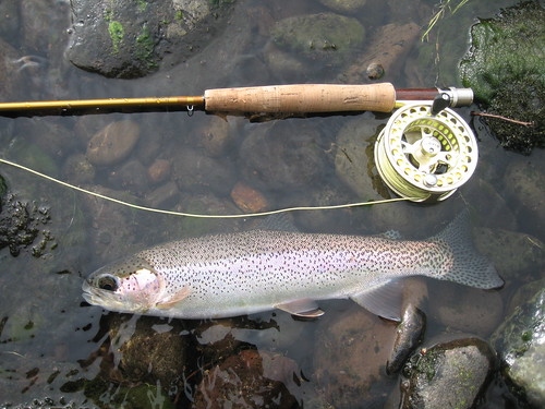 MIddle Fork Rainbow Trout