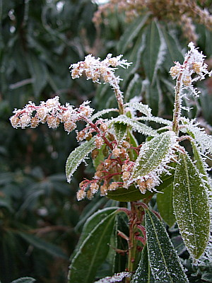 Pieris Flame, all frosted, in a neighbours garden