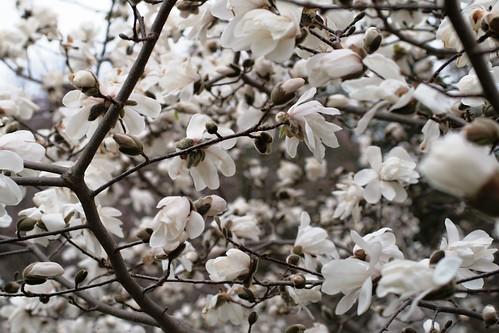 Merrill Magnolia