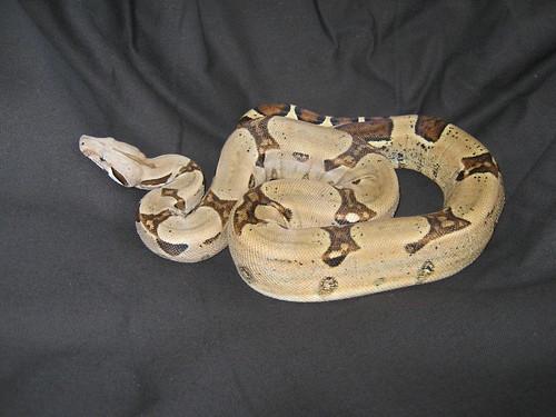 Pastel Boa Constrictor