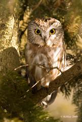Northern Saw-whet Owl - Amherst Island