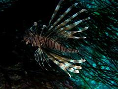 Pez escorpión / lionfish (Pterois miles)