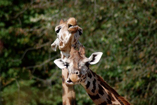Giraffen in La Bourbansais