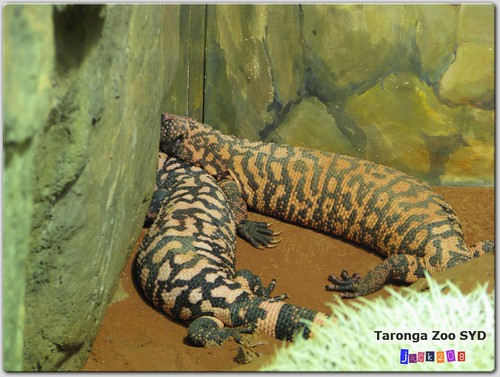 Taronga Zoo - Gila Monster