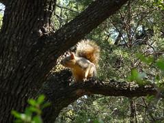 Squirrel on Barton Creek greenbelt
