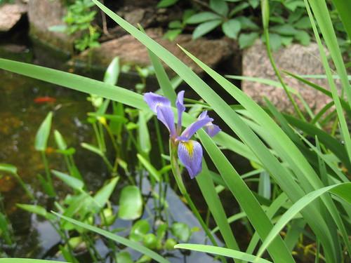 Wild iris in pond