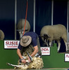 Sheep show - shearing