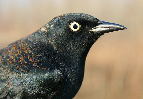 Rusty Blackbird - male