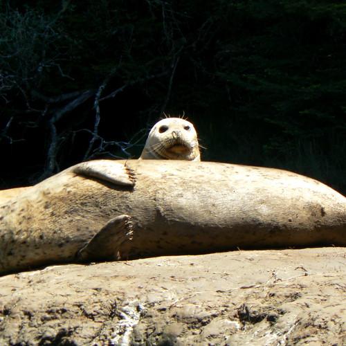 Seals at Seal Rock