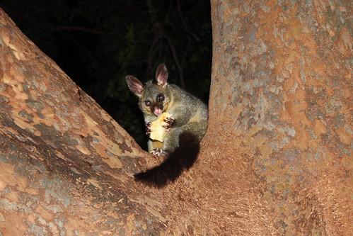 Brushtail possum eating an apple