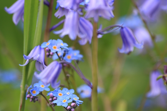 Bluebells and Forget Me Nots in the May Garden