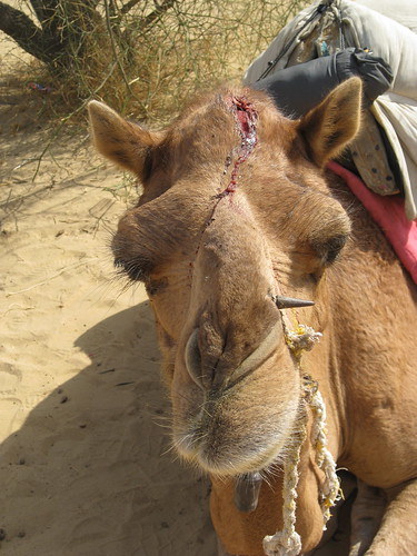 damaged camel 1