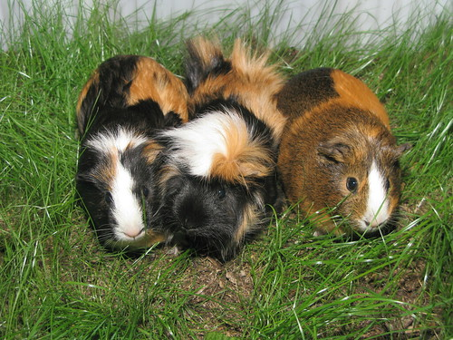 "Guinea pigs, from Flickr user ""photon ℽ"""