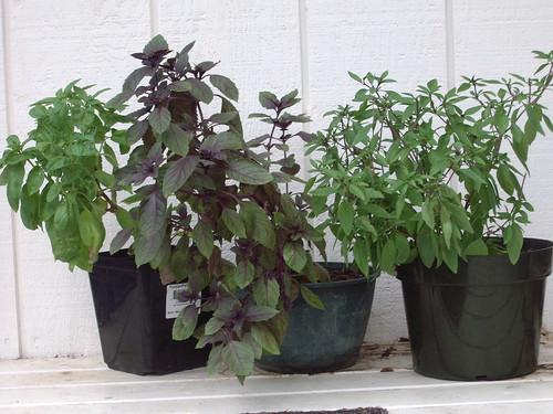 3 basil pots