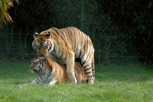 Sibirische Tiger in La Bourbansais