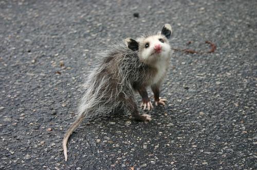 Baby Opossum - On Street