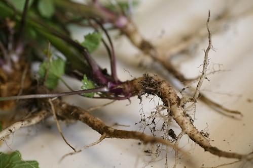 Roots of garlic mustard
