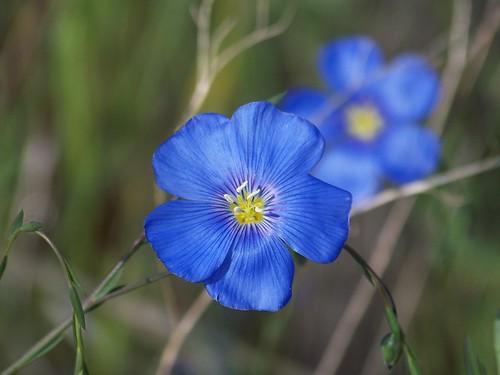 Wild blue flax,(Linum lewisii)