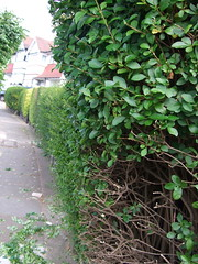 row of hedges 2